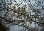 播磨中央公園のソメイヨシノ