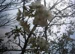 播磨中央公園の白い桜