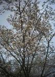 播磨中央公園の開花が少し進んだ桜