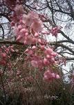 播磨中央公園のシダレ桜のアップ