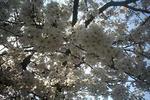 姫路城の桜1