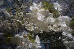 姫路城の桜4
