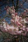 姫路城の桜5