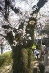 姫路城の大木の桜