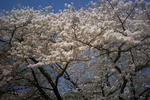 姫路城有料ゾーンの桜1