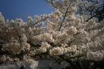 姫路城有料ゾーンの桜3