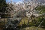姫路城有料ゾーンの大木の桜