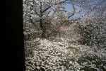 姫路城百間廊下からの桜2