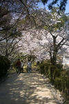 天守閣に向かう桜並木