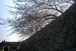 石垣の上の桜