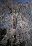 4月6日午前の枝垂桜