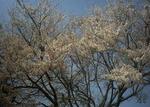4月6日午前の桜