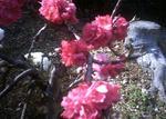花桃ピンクレッド