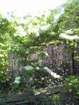 明石城の屋上庭園の白いアジサイ
