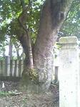 鈴が森神社の大木のアップ
