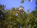 コブシ狂い咲き2