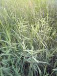 草だらけの田んぼ