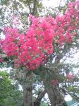 神子畑選鉱所のサルスベリの花