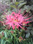 9月19日彼岸花開花