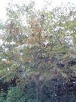 播磨中央公園ハナミズキの紅葉