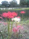 播磨中央公園の白い彼岸花