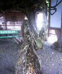 出石の駐車場のフジの木の根っこ