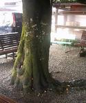 出石の駐車場のカシの木の根っこ