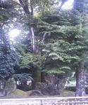 浦島神社境内の大木