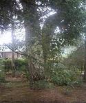 浦島神社境内の松の幹