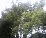 浦島神社境内の松