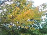 カツラの木のアップ