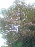 ハナミズキの木