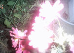 夜の懐中電灯に照らされたコスモス