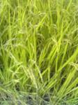 稲刈りする稲
