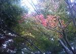 播磨中央公園の紅葉途中のもみじ
