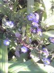 紫苑に似た菊