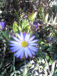 紫苑に似た菊のアップ