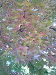 大きな葉っぱのモミジ