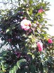 万葉岬の椿か山茶花か?