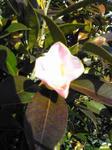 万葉岬の椿か山茶花か?2