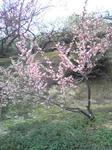 綾部山梅林の梅(薄いピンク2)