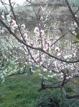 綾部山梅林の梅(薄いピンクのアップ)