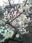 綾部山梅林の梅(薄いピンクのアップ2)