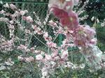 綾部山梅林の梅(ピンクのアップ)