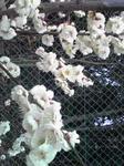 綾部山梅林の梅(白のアップ)