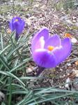 紫クロッカス