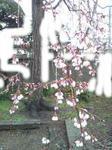 しだれ桜チラホラ咲き