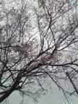 桜チラホラ咲き