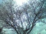 3月27日桜