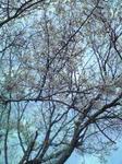 3月28日桜